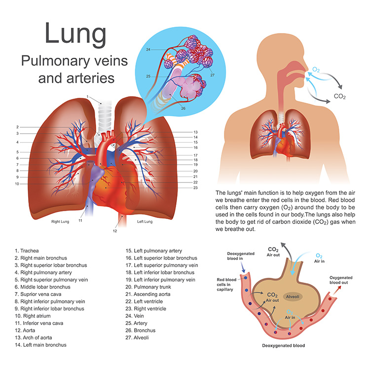 Pulmonary veins and arteries